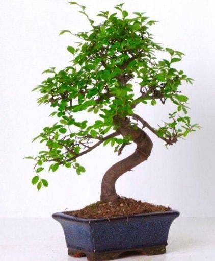 S gövdeli bonsai minyatür ağaç japon ağacı  Aksaray çiçek gönderme sitemiz güvenlidir