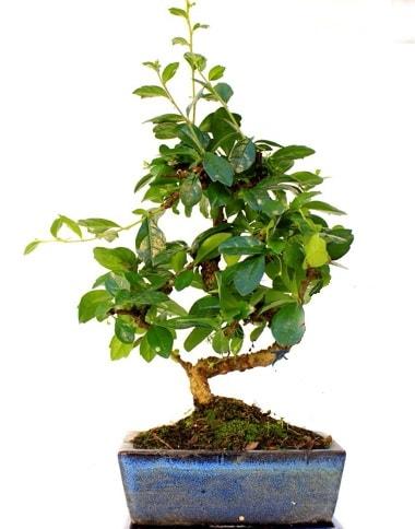 S gövdeli carmina bonsai ağacı  Aksaray çiçek yolla  Minyatür ağaç