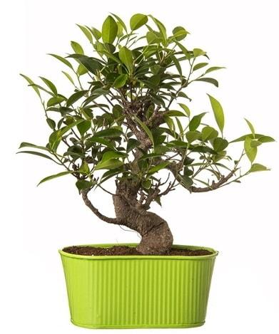 Ficus S gövdeli muhteşem bonsai  Aksaray çiçek siparişi sitesi