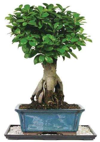 Bonsai Ginsing Grafted Ficus Bonsai  Aksaray çiçek yolla