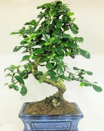 Zelkova S gövdeli Minyatür ağaç Bonzai  Aksaray çiçek gönderme