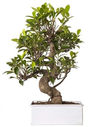 Exotic Green S Gövde 6 Year Ficus Bonsai  Aksaray çiçek gönderme sitemiz güvenlidir