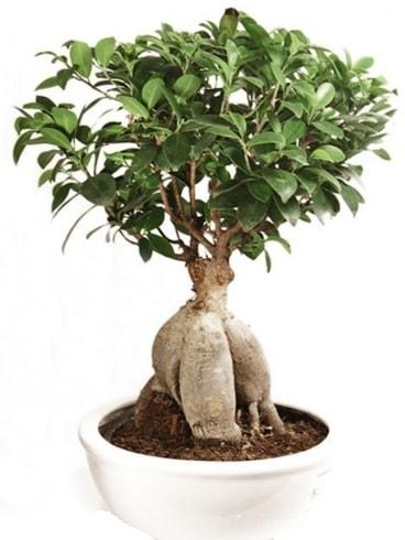 Ginseng bonsai japon ağacı ficus ginseng  Aksaray İnternetten çiçek siparişi