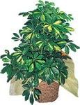 Aksaray internetten çiçek siparişi  Schefflera gold